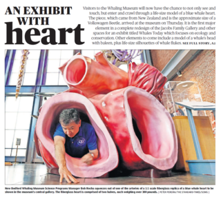 Whale Heart life size model arrives in New Bedford Whaling Museum