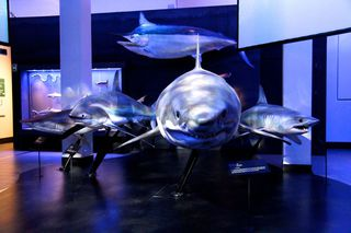 Sharks and Marlin specimen models